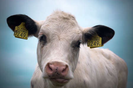 close-up of a  cow photo