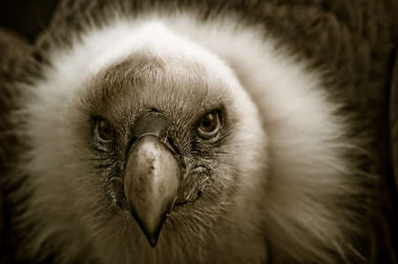 assailant: beautiful picture of a vulture looking at the camera Stock Photo