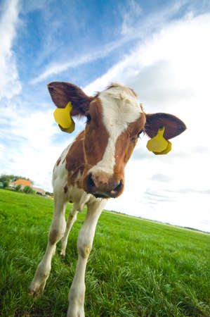 cute curious  cow looking at the camera photo