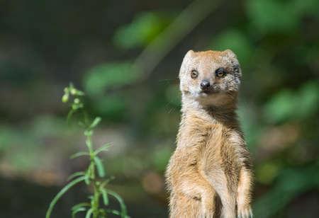 mongoose: cute yellow mongoose (Cynictis penicillata)