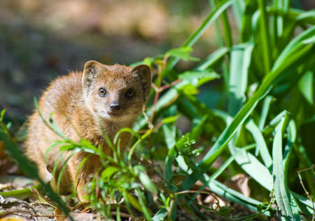 cute yellow mongoose (Cynictis penicillata) photo