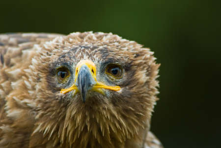 cruel zoo: cose-up of a steppe eagle (Aquila nipalensis)