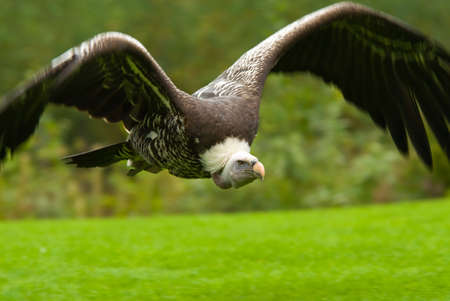 assailant: beautiful vulture in flight  Stock Photo