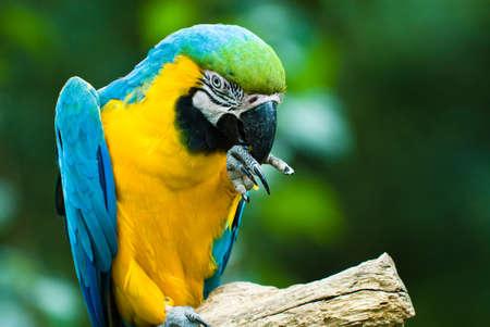 ararauna: ip-cerca de un hermoso azul y amarillo guacamaya roja (Ara ararauna)