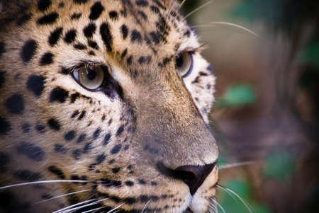 majesty: close-up of a beautiful leopard