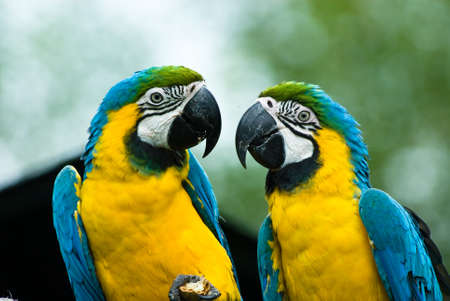 close-ip of a beautiful blue-and-yellow macaws in love  (Ara ararauna) photo