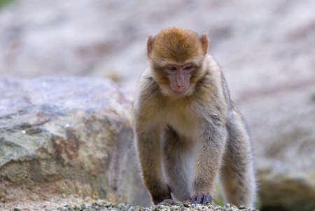 barbary ape: close-up of a cute barbary ape (Macaca sylvanus)