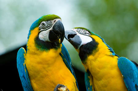 blue parrot: two beautiful parrots in love  Stock Photo