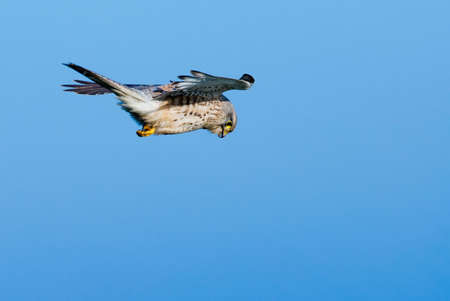 melierax: A falcon against a blue sky looking for prey