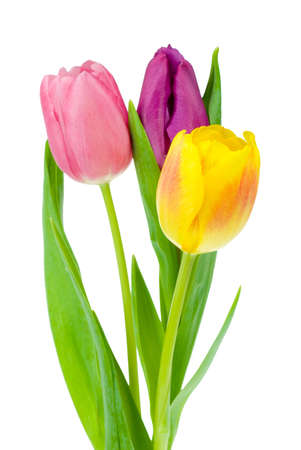 colorful tulips isolated on a white background Stock Photo - 2263652