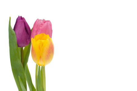colorful tulips isolated on a white background Stock Photo - 2263650
