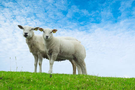 naivety: a cute lamb and mother on a day in spring Stock Photo