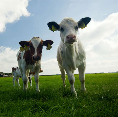 two curious  cows on farmland photo