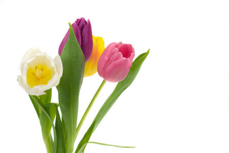 colorful fresh tulips isolated on a white background Stock Photo - 2434767