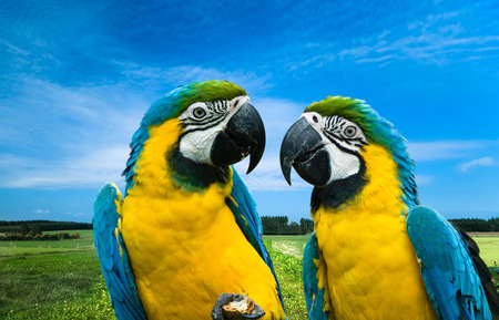 close-up of a beautiful blue-and-yellow macaws in love (Ara ararauna) photo