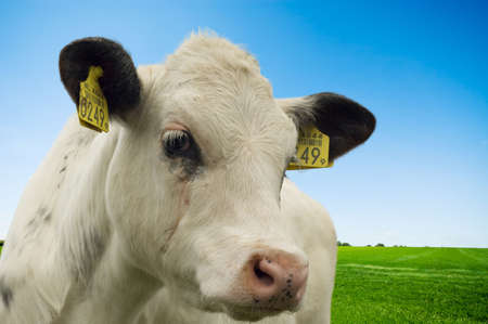 cute  cow in summer photo