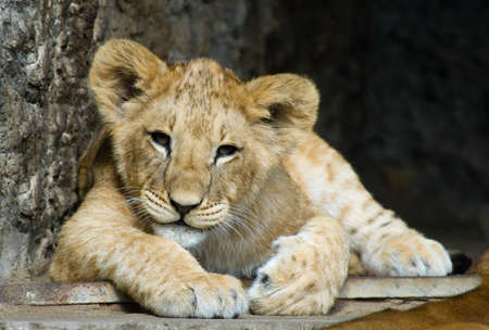 close-up of a cute lion cub photo