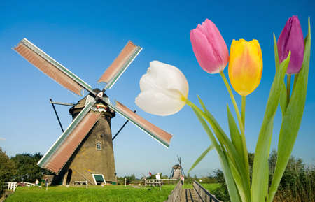 springy: Dutch windmill and colorful tulips