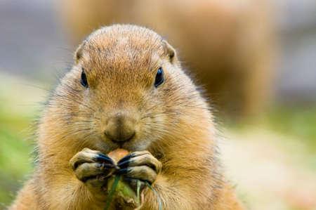 small butt: close-up of a cute prairie dog Stock Photo
