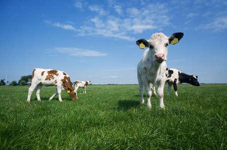 cuero vaca: Cute vaca beb� en el verano