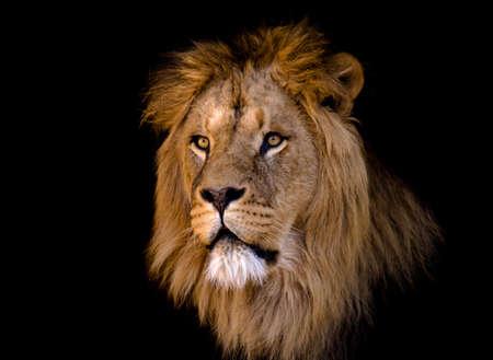 of lions: retrato de un gran macho le�n africano