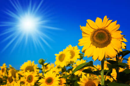 beautiful sunflowers with blue sky and sunburst photo