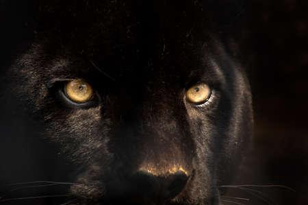 Die Augen von einem schwarzen Panther Standard-Bild - 2638127