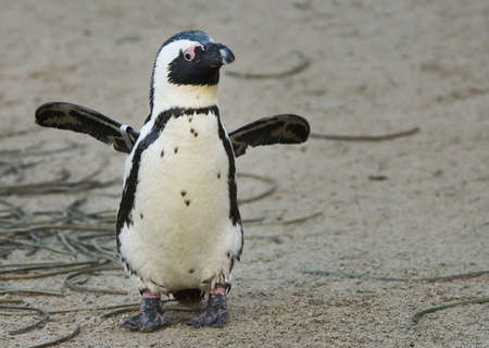south african birds: penguin cute che si agita le relative ale