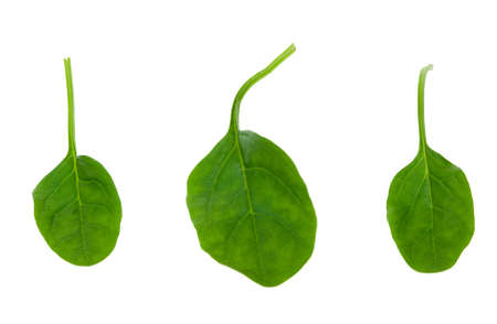 fresh spinach leaves isolated on a white background photo