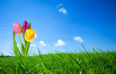 fresh and colorful tulips in spring Stock Photo - 2690440