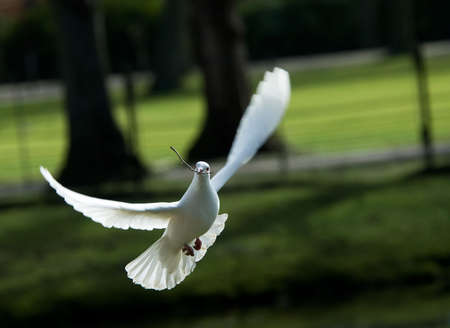 white dove: beautiful white dove in flight, holding a small branch to build a nest in spring
