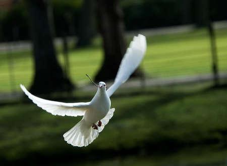 paloma blanca: hermosa paloma blanca en vuelo, la celebraci�n de una peque�a rama para construir un nido en primavera