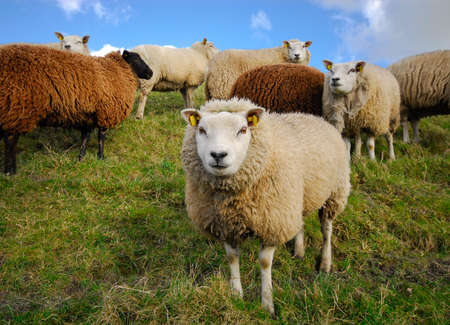 naivety: sheep looking at the camera in spring