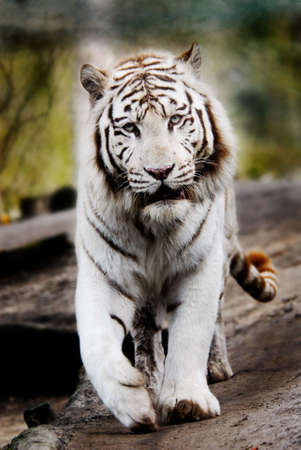 tigress: Beautiful white tiger walking towards the camera Stock Photo