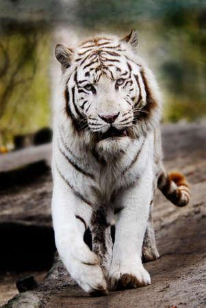 tigresa: Tigre blanco hermoso que camina hacia la c�mara fotogr�fica