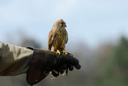 falconidae: beautiful falcon on the glove of a falconer Stock Photo