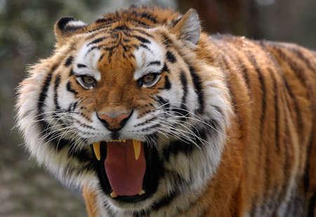 크고 날카로운 이빨을 보여주는 화난 호랑이