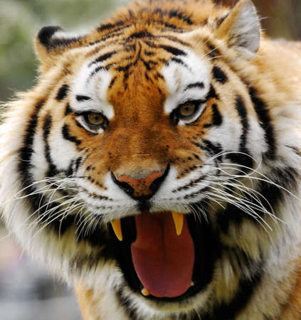 close-up of an angry tiger Stock Photo - 2802905