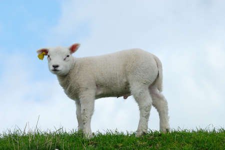 naivety: cute lamb on the grass in spring