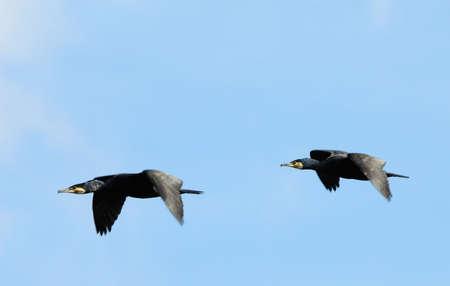 carbo: two beautiful great black cormorants in flight (Phalacrocorax carbo)