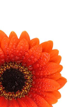 beautiful fresh orange gerbera flower isolated on a white background photo