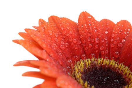 beautiful fresh orange gerbera flower isolated on a white background Stock Photo