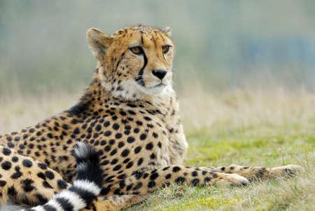 acinonyx: close-up of a beautiful cheetah (Acinonyx jubatus)