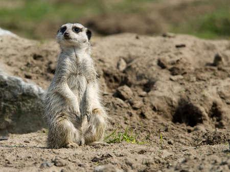 a cute meerkat (Suricata suricatta) photo