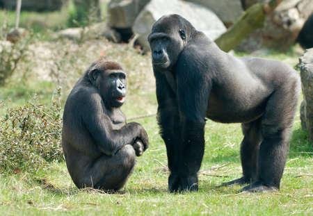 close-up of a big male and female gorilla photo