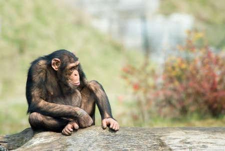 troglodytes: close-up of a cute chimpanzee (Pan troglodytes)