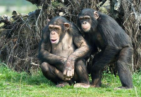 robust: close-up of a cute chimpanzee (Pan troglodytes)
