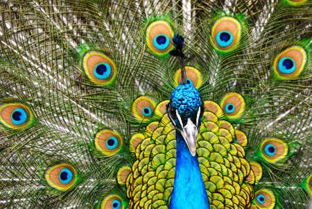 plummage: beautiful male indian peacock showing its feathers (Pavo cristatus) Stock Photo