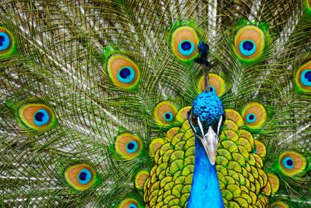pluma de pavo real: hermoso pavo real macho indio mostrando sus plumas (Pavo cristatus)  Foto de archivo
