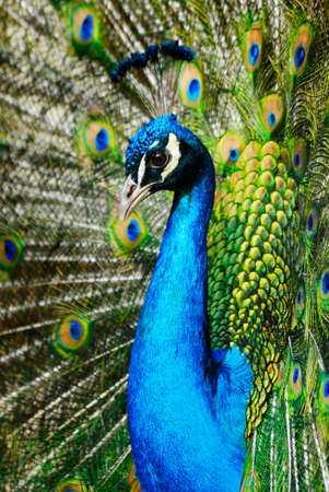 plummage: peacock indio masculino hermoso que demuestra sus plumas (cristatus de Pavo)